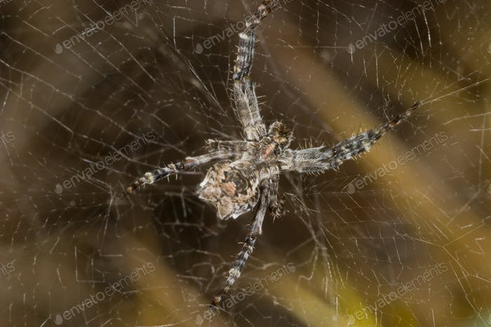 Araña (Cyrtophora citricola) - Spider (Cyrtophora citricola)