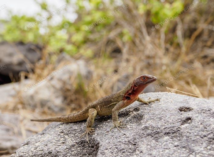 Lava lizard at Espanola Island, Galapagos, Ecuador