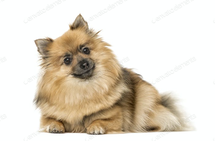 German Spitz lying, isolated on white
