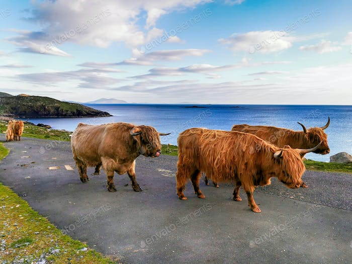 Highland cows and a bull on the road to Hushinish