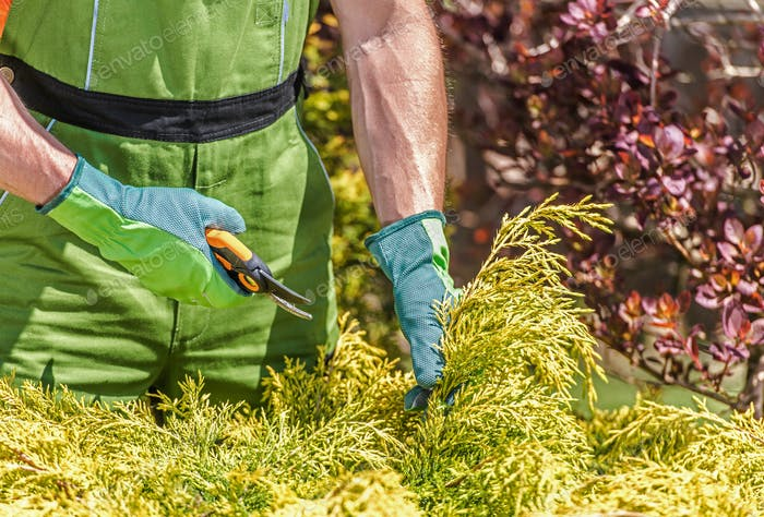 Garden Worker Trimming Shrubs With Hand Clippers.