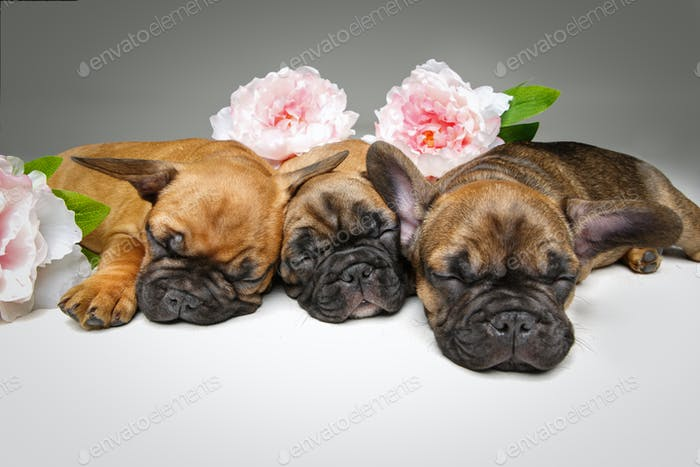 three beautiful french bulldog puppies