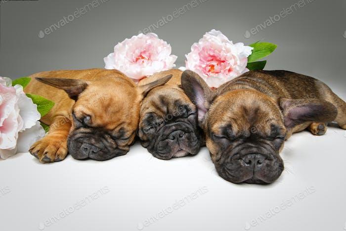 drei schöne Französisch Bulldog Welpen