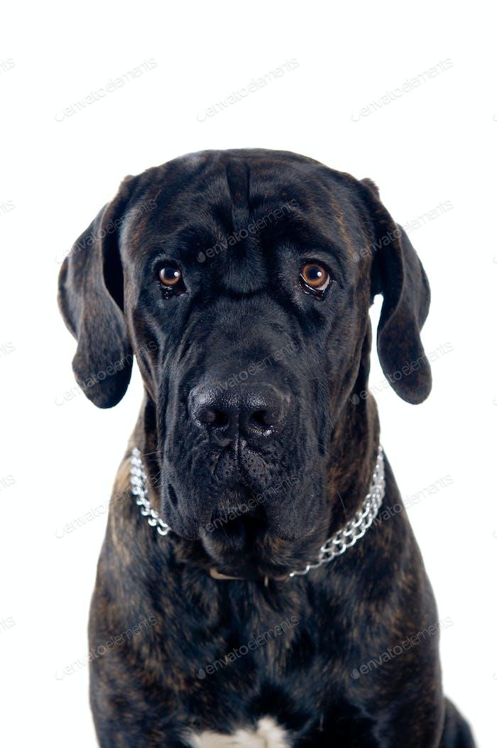 Cane-corso dog portrait