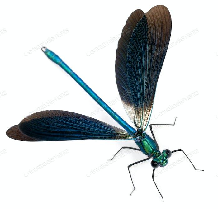 Männlich Gebänderte Demoiselle, Calopteryx splendens, vor weißem Hintergrund