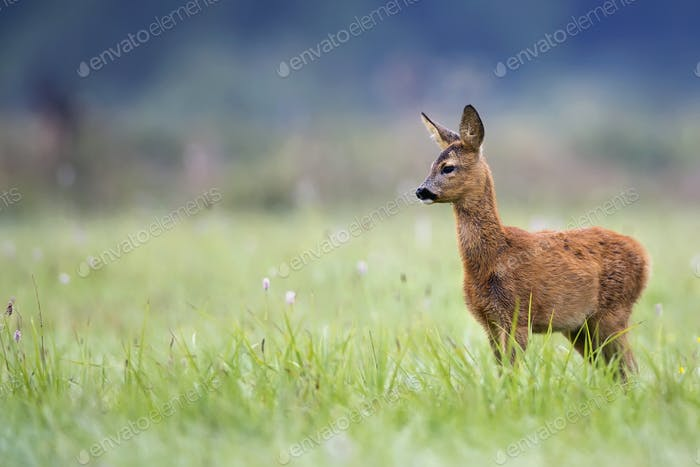 Young roe-deer in a clearing