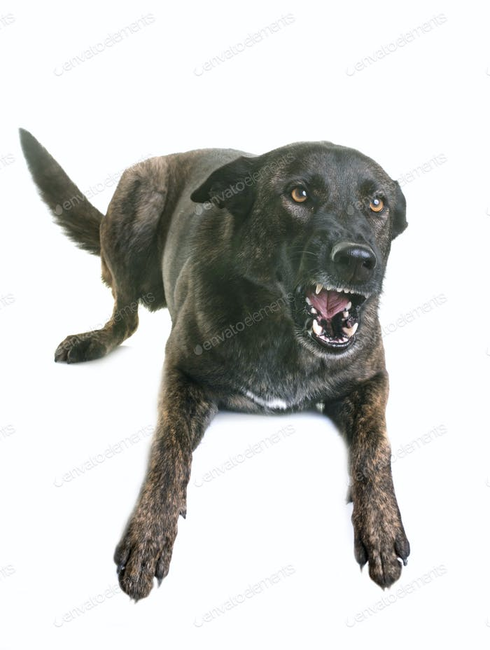 dutch shepherd barking