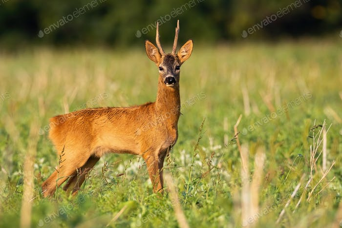 Roe deer buck watching on stubble in sunrise