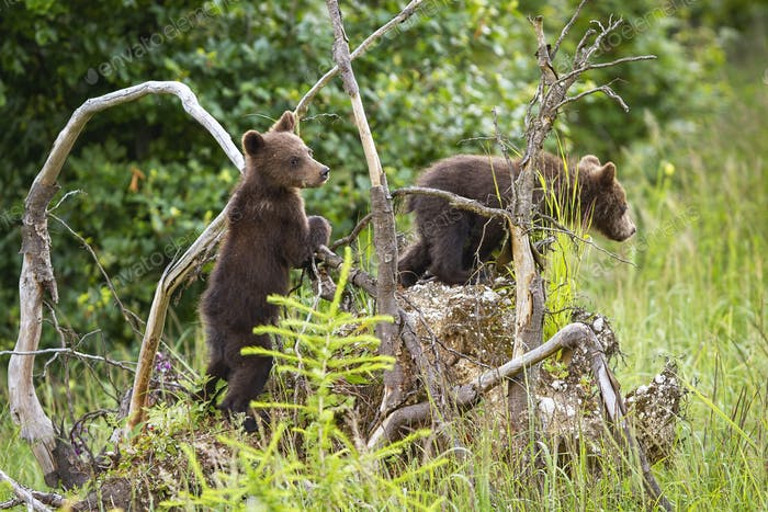 Two brown bear cubs climbing uprooted tree in forest