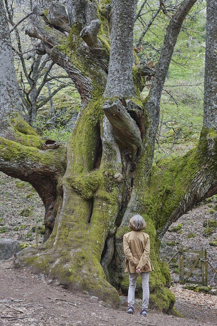 Woman enjoying old century chestnut tree on Ambroz valley. Vertical