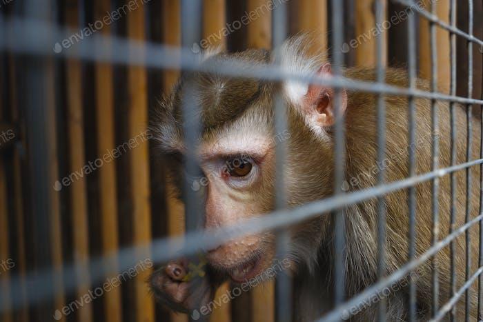 Porträt eines traurigen Affen in einem Käfig