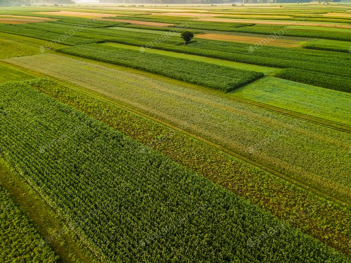 Lonely Tree in Agriculture Crop Fields Drone View