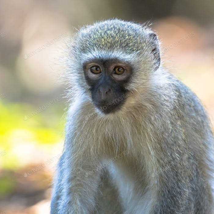 Vervet monkey looking at camera
