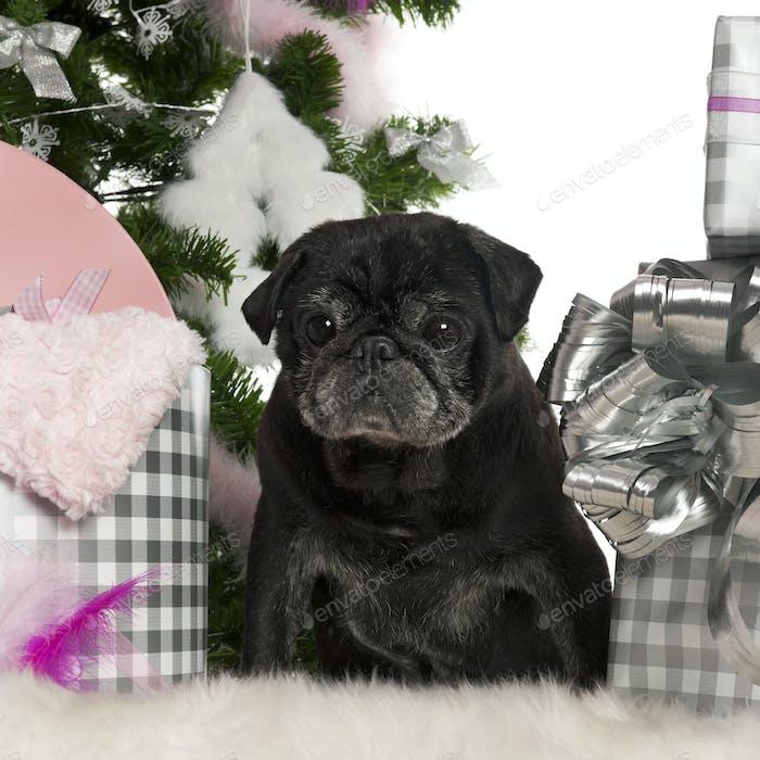 Mops, 13 Jahre alt, mit Weihnachtsbaum und Geschenken vor weißem Hintergrund