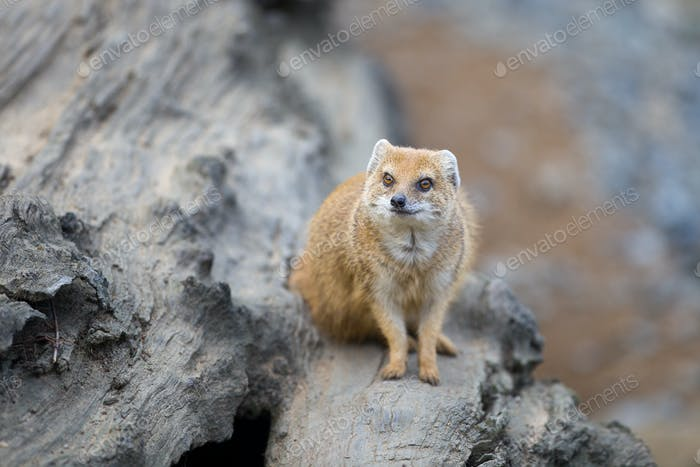 yellow mongoose - really clever and cute prairie animal