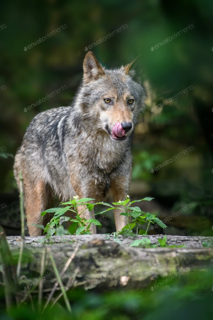 Gray wolf, Canis lupus, in the summer light, in the forest