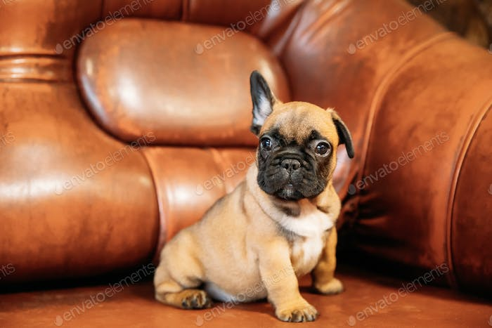 Young French Bulldog Dog Puppy Sitting On Red Sofa Indoor. Funny