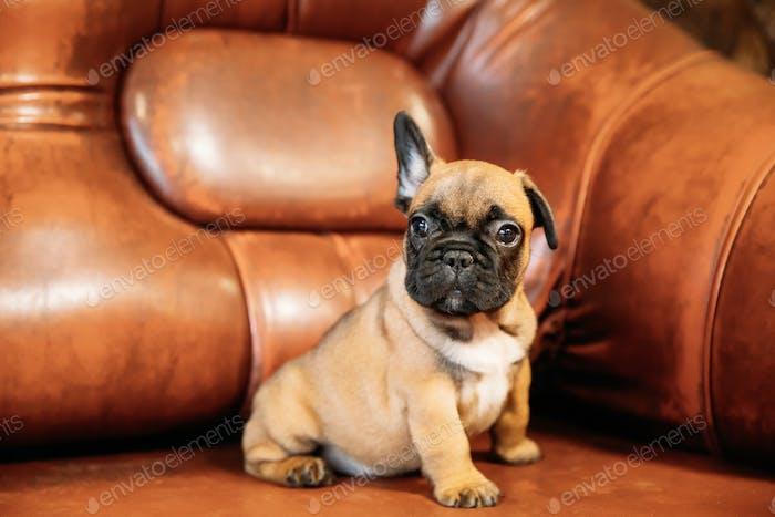 Junge Französische Bulldogge Hund Welpe sitzend auf rotem Sofa drinnen. Lustig