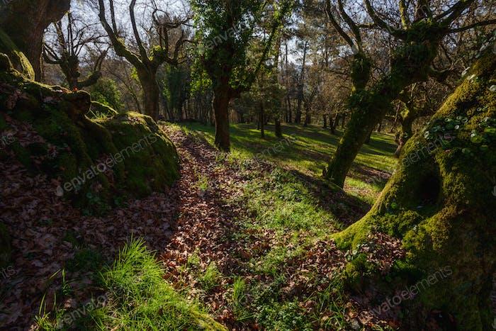 Centennial oaks covered with moss