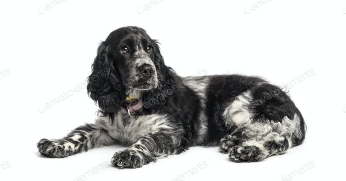 english cocker spaniel puppy (4 months old)