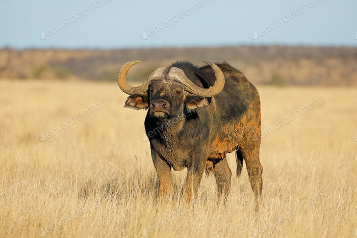African buffalo in grassland