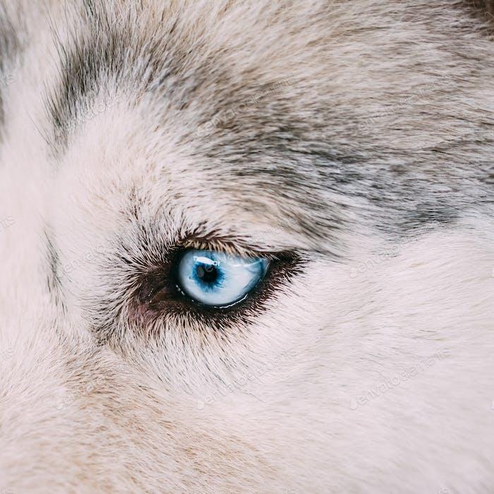 Nahaufnahme auf blauem Auge eines Husky