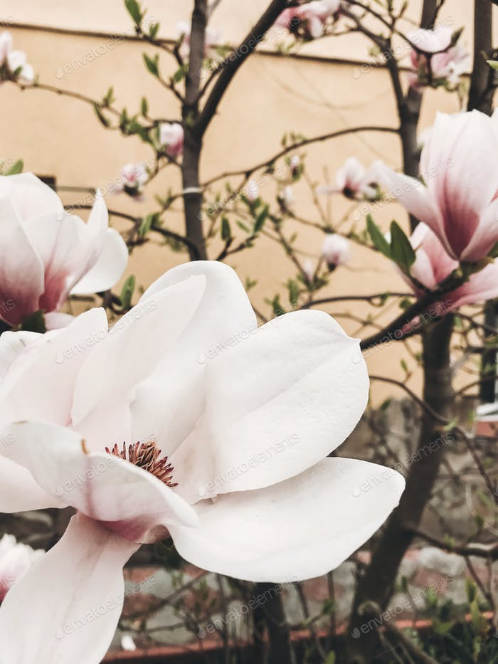 White and pink magnolia flowers on tree branches on background of garden