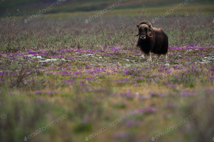 Muskox, Arktis National Wildlife Refuge, Alaska
