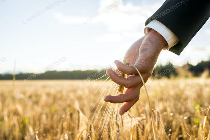 Geschäftsmann berühren ein Ohr von reifenden Weizen