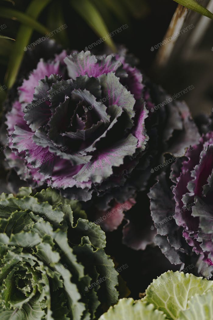 Closeup of green and purple ornamental cabbage