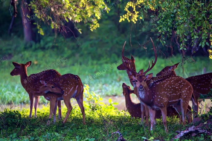 A herd of spotted deer or Axis foraging