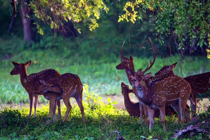 Una manada de ciervos manchados o forrajeo del Eje