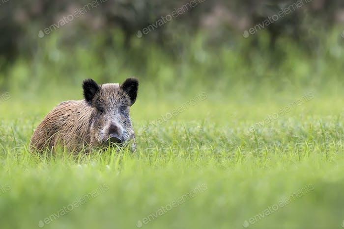 Wild boar in the grass