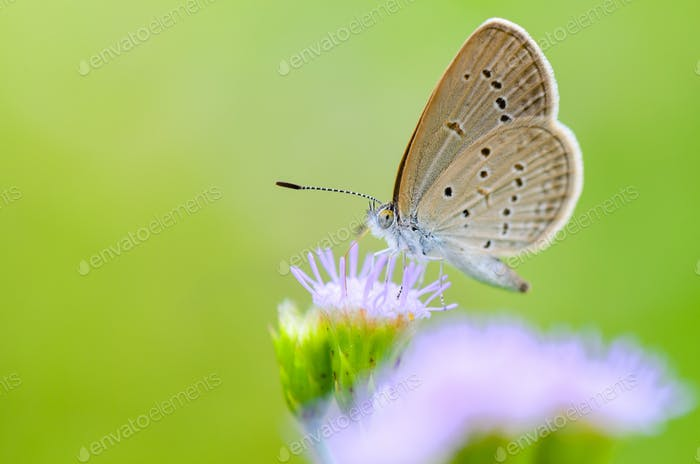 Close up small brown butterfly ( Tiny Grass Blue )