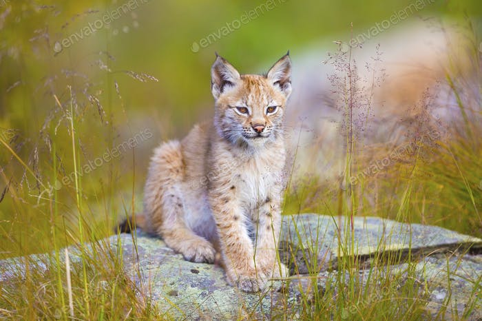 Cute young lynx cub sitting in the grass