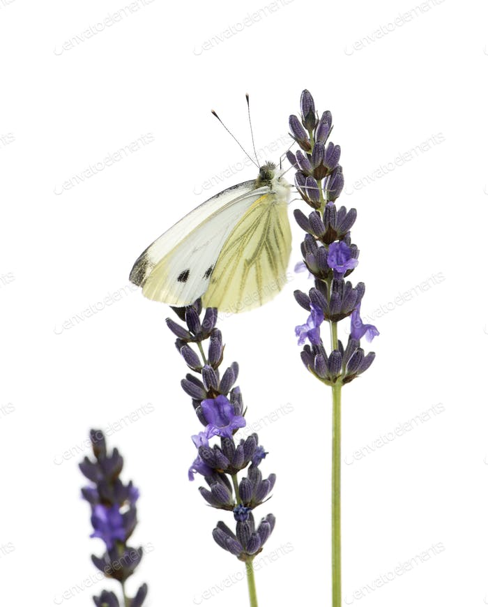 Large white, Pieris brassicae, on a lavander in front of a white background