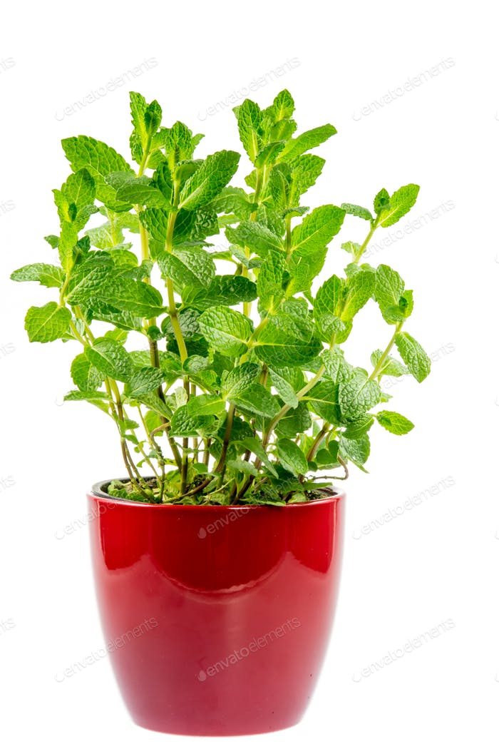 Isolated mint plant in a ceramic pot