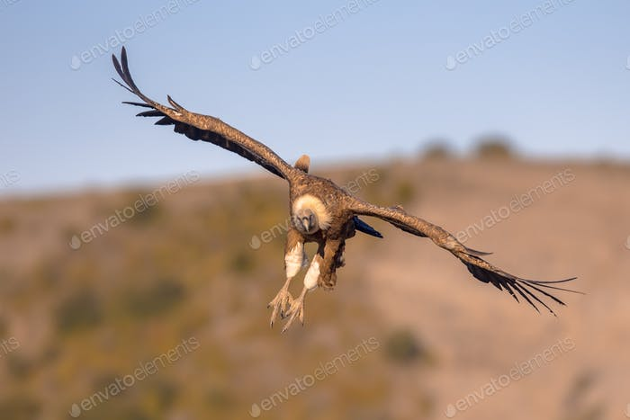 Griffon vulture flying and landing