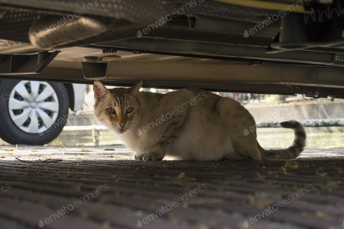 Domestic cat hiding under a car