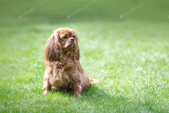 Happy cavalier spaniel sitting in the grass