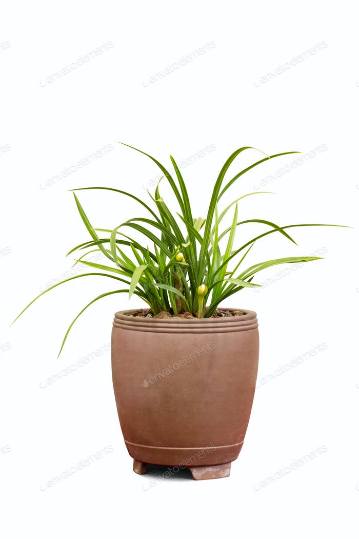 potted orchid isolated on white with clipping path