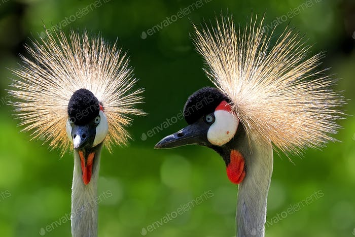 Grey Crowned Cranes - Balearica regulorum, a portrait