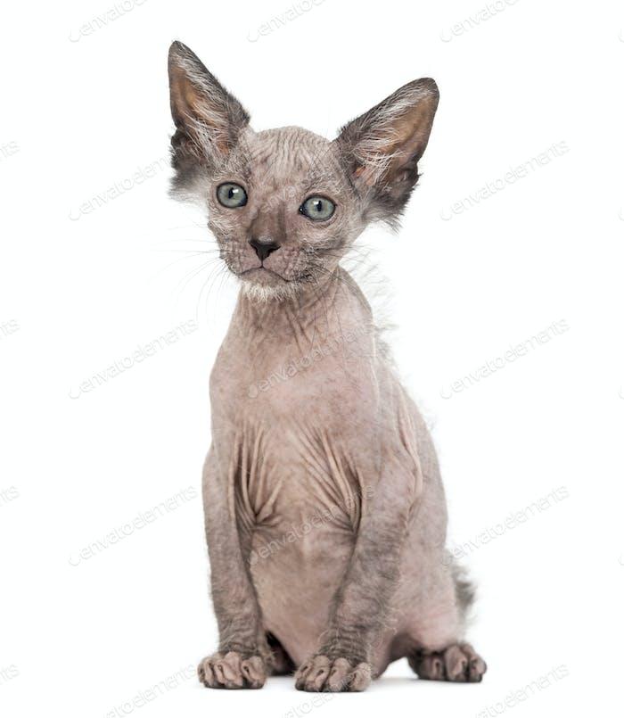 Kitten Lykoi cat, 7 weeks old, also called the Werewolf cat sitting against white background