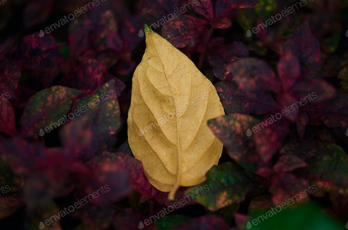 A falling yellow leaf on the red leaves
