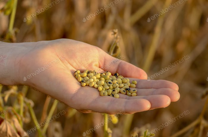 Harvest ready soy beans in human hand on dry pods background eve