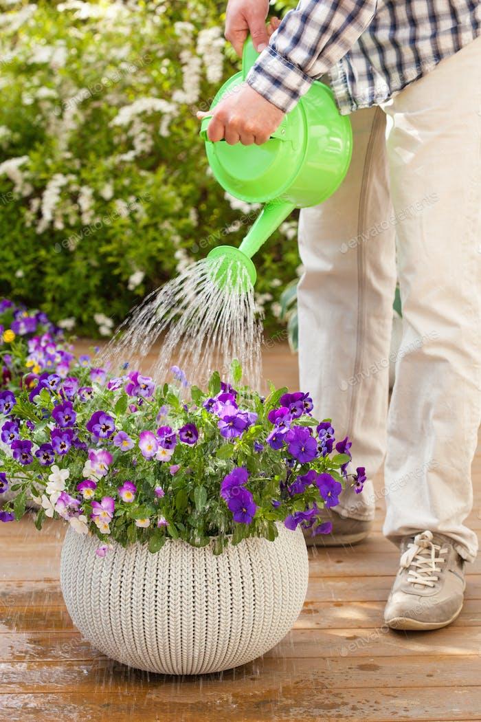 man gardener watering viola flowers in garden