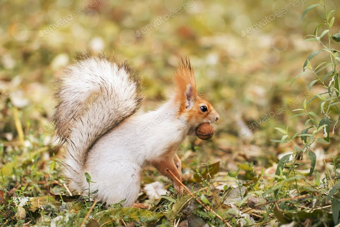Red-gray squirrel hides nuts in the autumn park in the grass. Red gray squirrel portrait close up