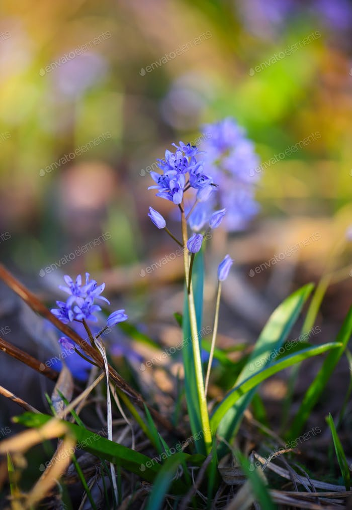 Spring flowers in a forest. Scilla Bifolia.