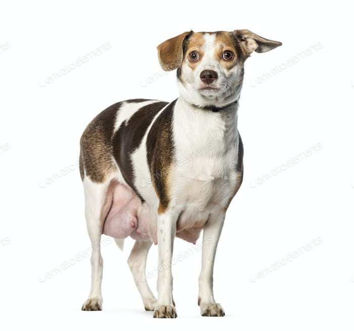 Pregnant dog in front of white background