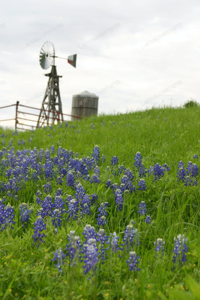 Texas Bluebonnets on a Hill with Windmill in Background